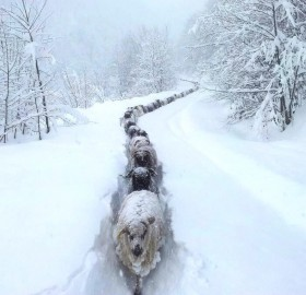 Sheep Snow Trail