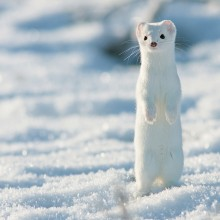 White Short-Tailed Weasel