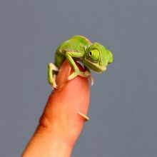 Adorable Tiny Chameleon
