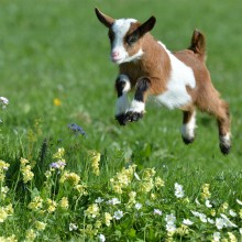 Baby Goat Jumps Through A Meadow