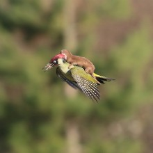 Baby Weasel Flying On A Green Woodpecker Bird
