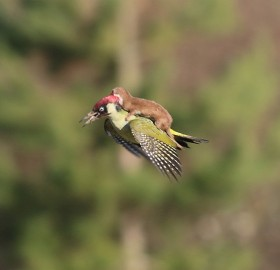 Baby Weasel Flying On A Green Woodpecker Bird