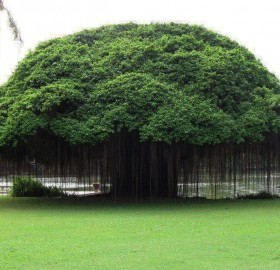 Banyan Tree, Thailand