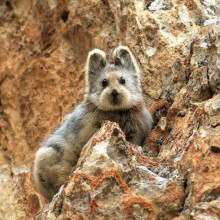 Ili Pika, a Rare Animal, China