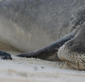 Monk Seal And A Baby Turtle