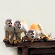 Squirrel Monkeys, Costa Rica
