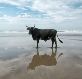 Bull On A Beach, South Africa