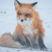 Red Fox On A Wind