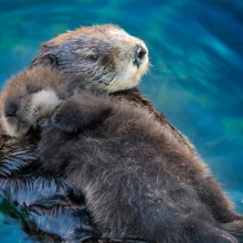 Sea Otter Babies Sleep On Their Mother