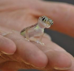 Small Israeli Dune Gecko