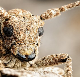 Amazing Long Horned Beetle