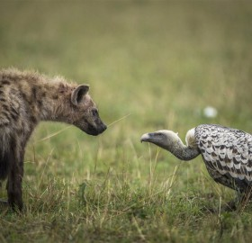 Eye To Eye, Hyena And Vulture