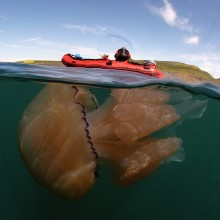 Giant Barrel Jellyfish, England