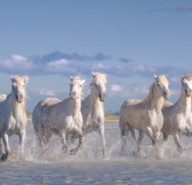 Herd Of Wild White Horses, France