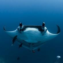 Manta Rays Of Archipelago Rivilya Hihedo, Mexico