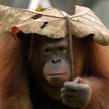 Orangutan Using Leaf As Umbrella