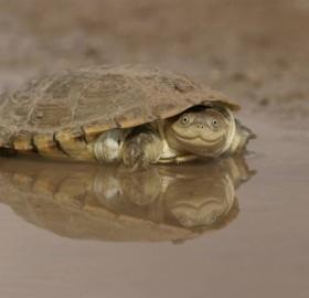 African Helmeted Turtle Smile