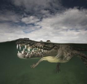American Crocodile In A Saltwater Mangrove, Cuba