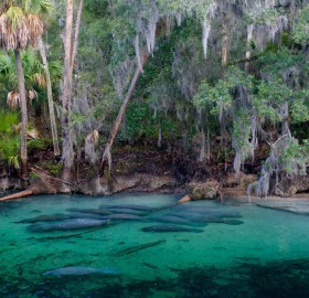 Manatees Of Crystal River, Florida