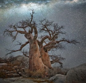 Old Tree At Night, Botswana