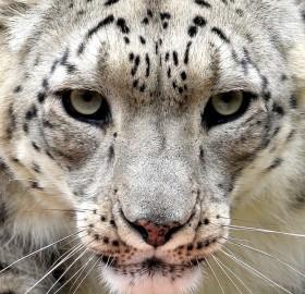 Snow Leopard Close-Up