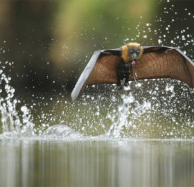 The Grey-Headed Flying Fox, Australia
