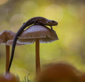Viviparous Lizard Climbing On The Mushroom