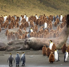 Huge Male Elephant Seal Surrounded With Penguins