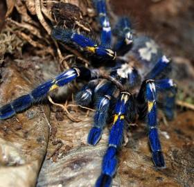 Rare Blue Gooty Tarantula
