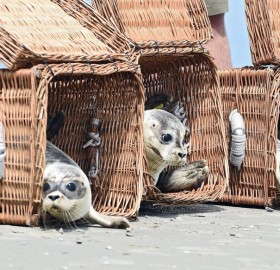Releasing Baby Seals Into The Wild