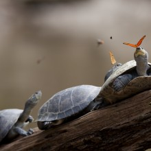 Butterfly Drinks Tears From A Turtle's Eye