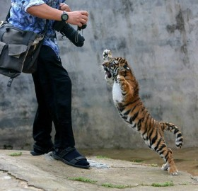 Baby Tiger Don't Like Photographers