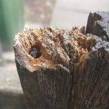 Bee Living In Fence Post