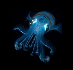 Bigfin Reef Squid At Night, Taiwan