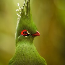 "The Bird With Majestic ""Hair Style"""