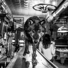 Wolf Walks On A Bar In Montana