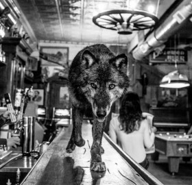 Wolf Walks On A Bar In Montana