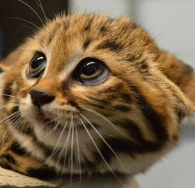 Adorable Black-Footed Cat Kitten, Philadelphia Zoo