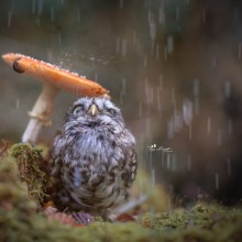 Cute Little Owl Uses Mushroom As Umbrella