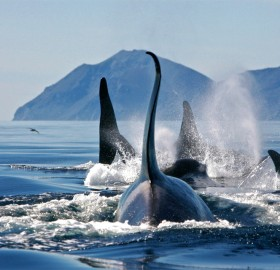 Group Of Killer Whales, Bering Sea