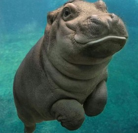 Happy Baby Hippo From San Diego Zoo