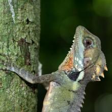 Forest Dragon of Australia