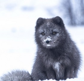 Wild Pup In The Snow