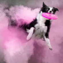 Dog Jumps Through Cloud of Pink Powder