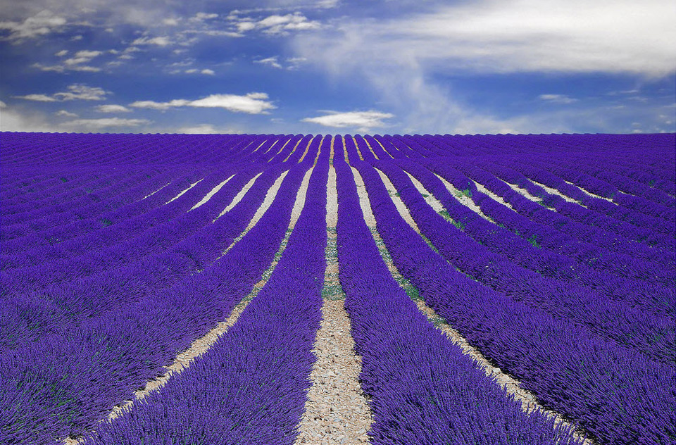 purple fields of lavender, france