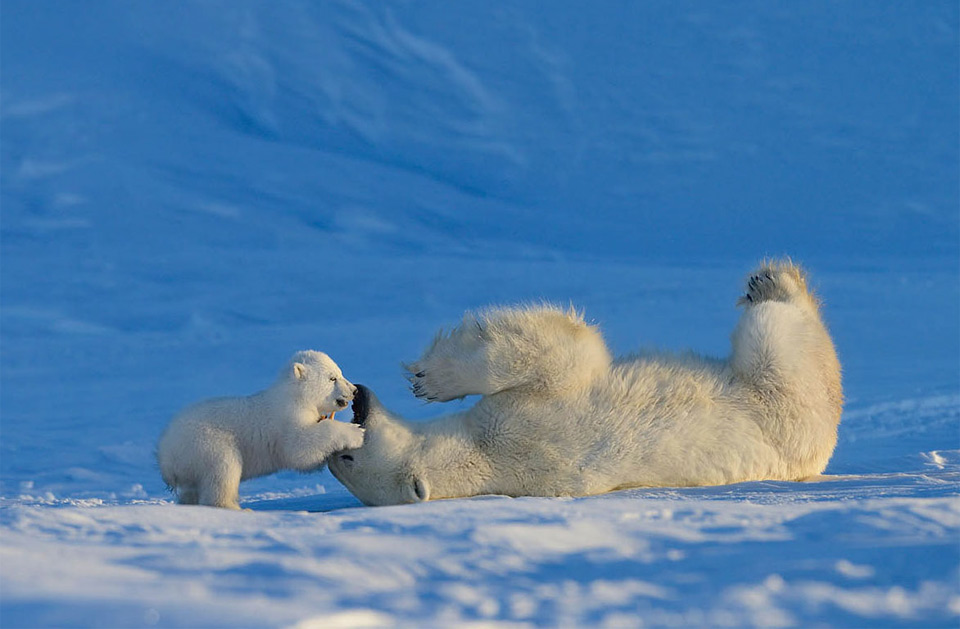 baby polar bear playing with his mother