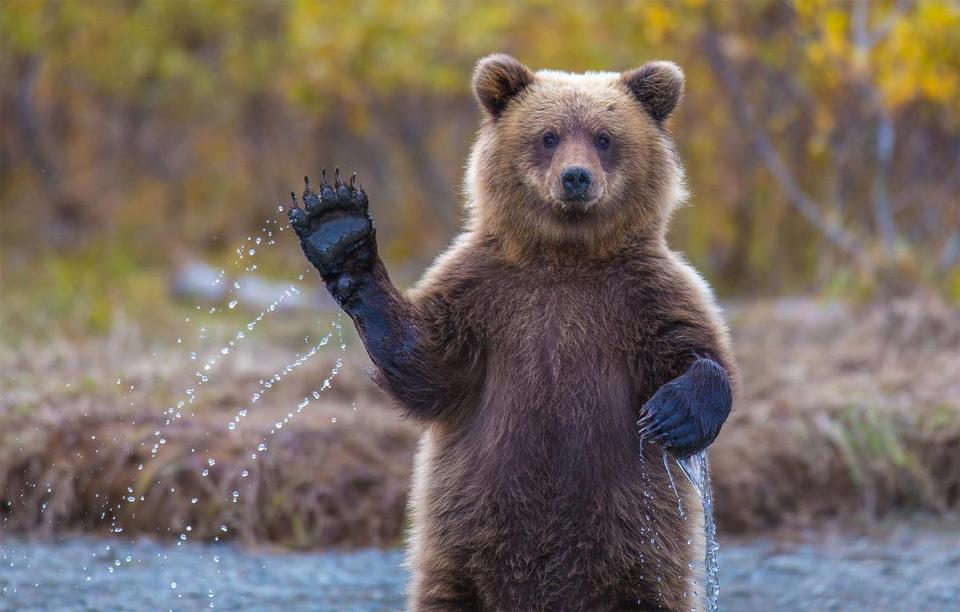 grizzly bear says hello, alaska