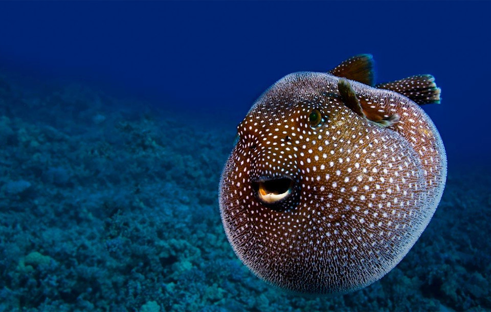 guineafowl pufferfish, hawaii