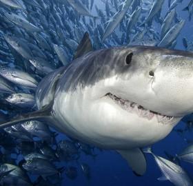 icy great white shark