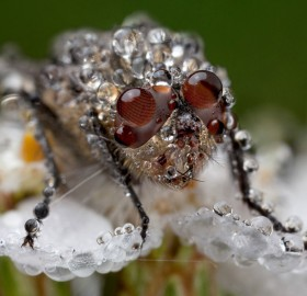 fly covered with water droplet